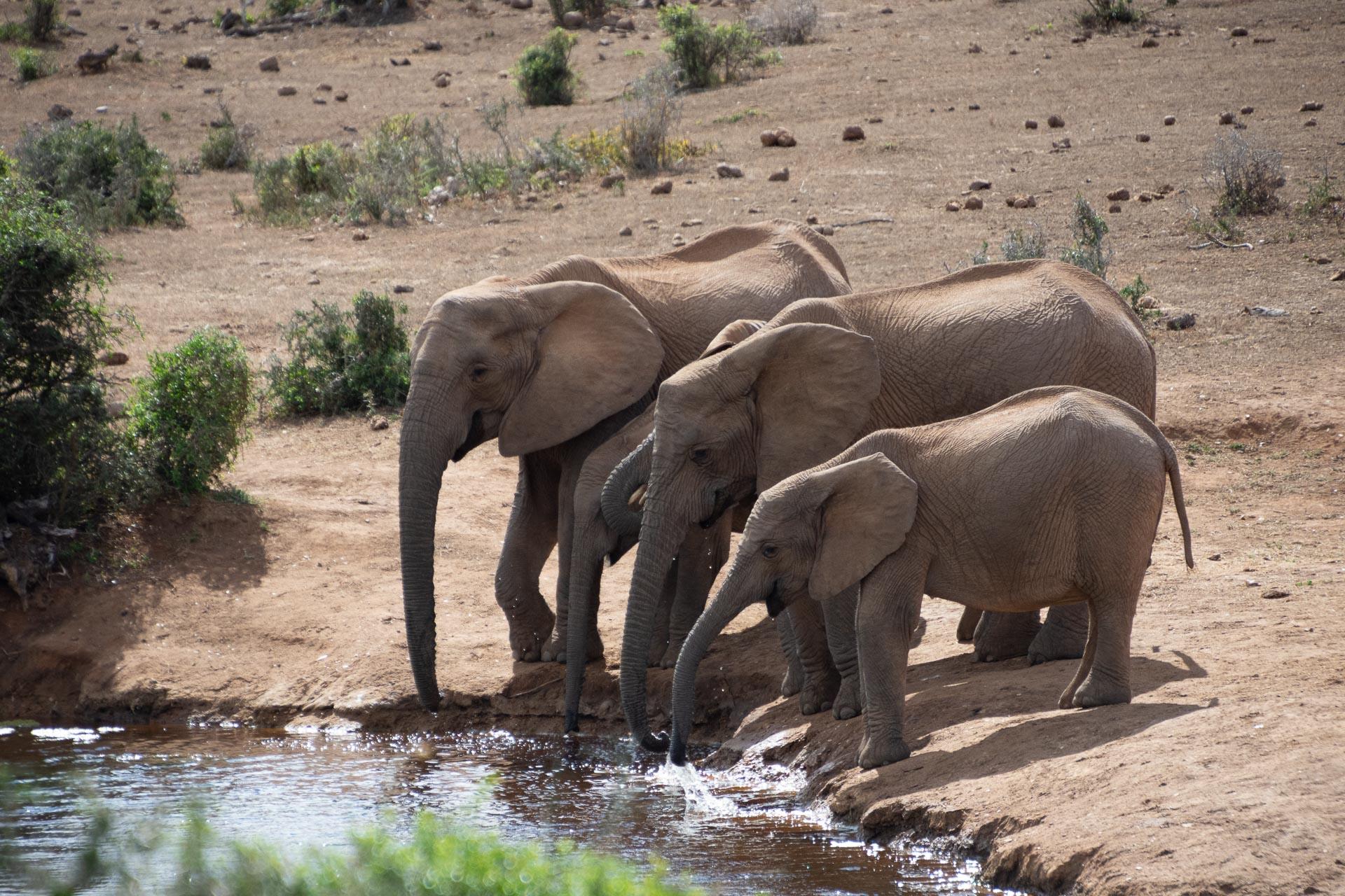 Addo-Elephant-Suedafrika-Globetrotter-Select-4