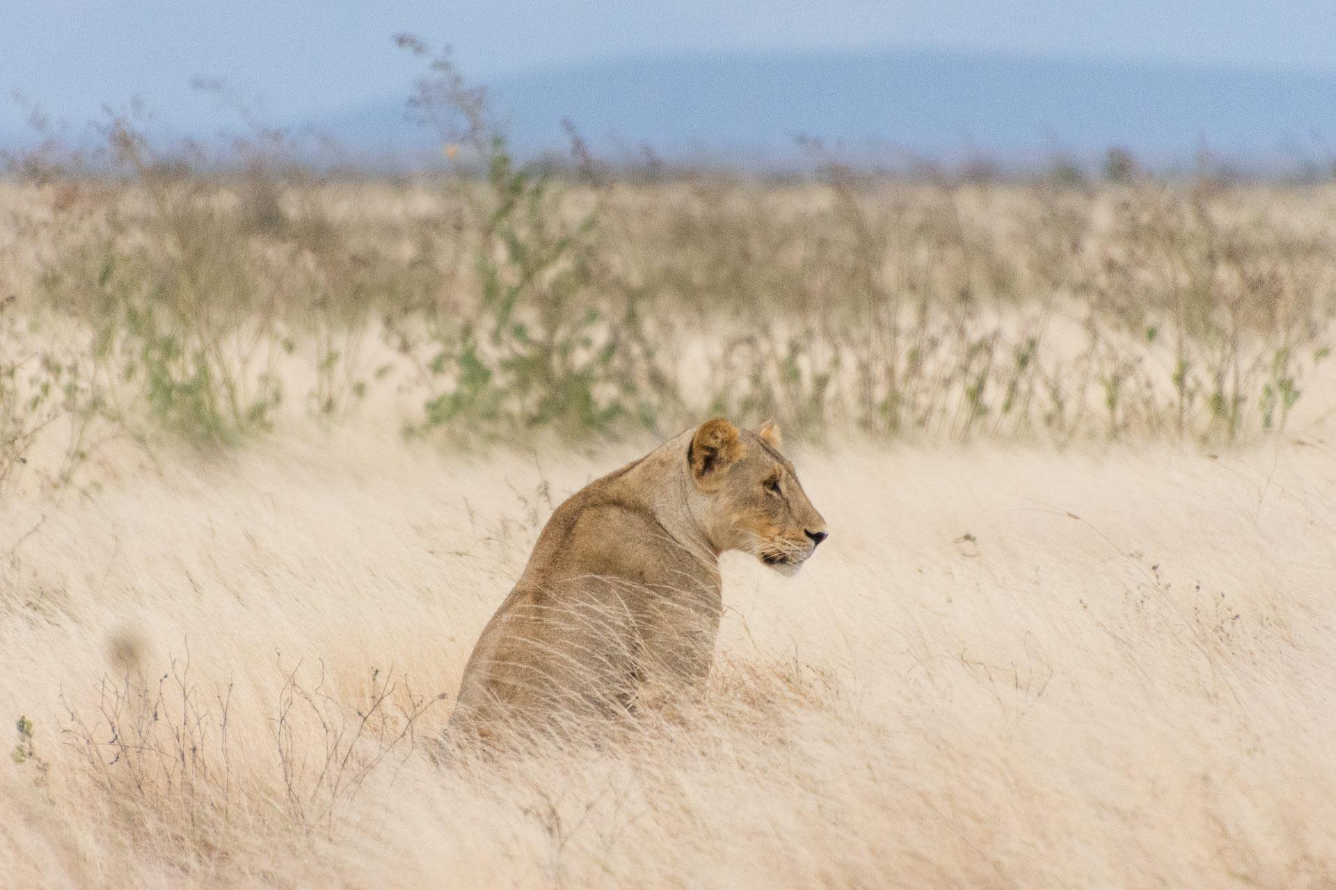 Loewen-Tsavo-Nationalpark-Kenia-Globetrotter-Select-1