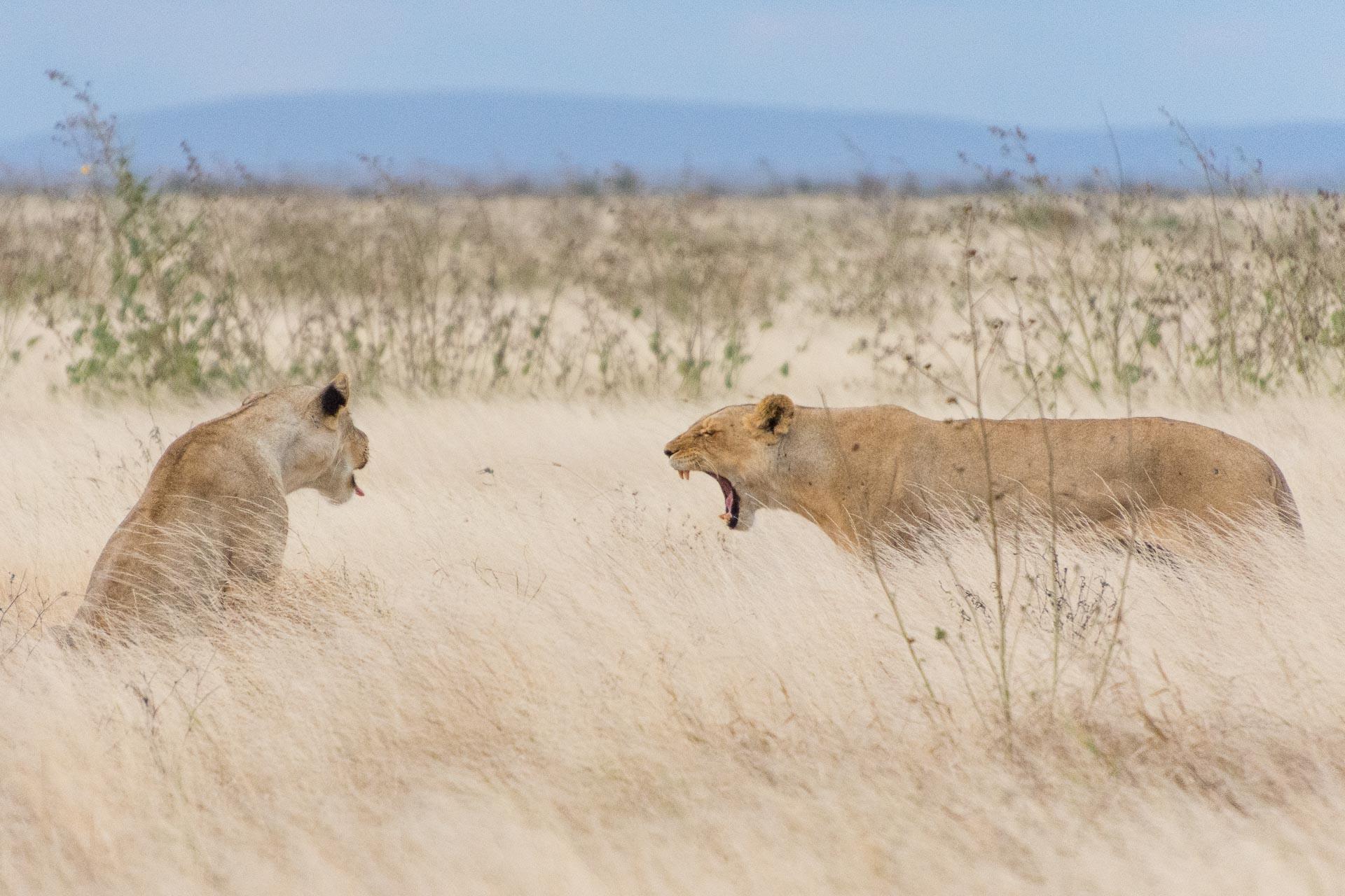 Loewen-Tsavo-Nationalpark-Kenia-Globetrotter-Select-3