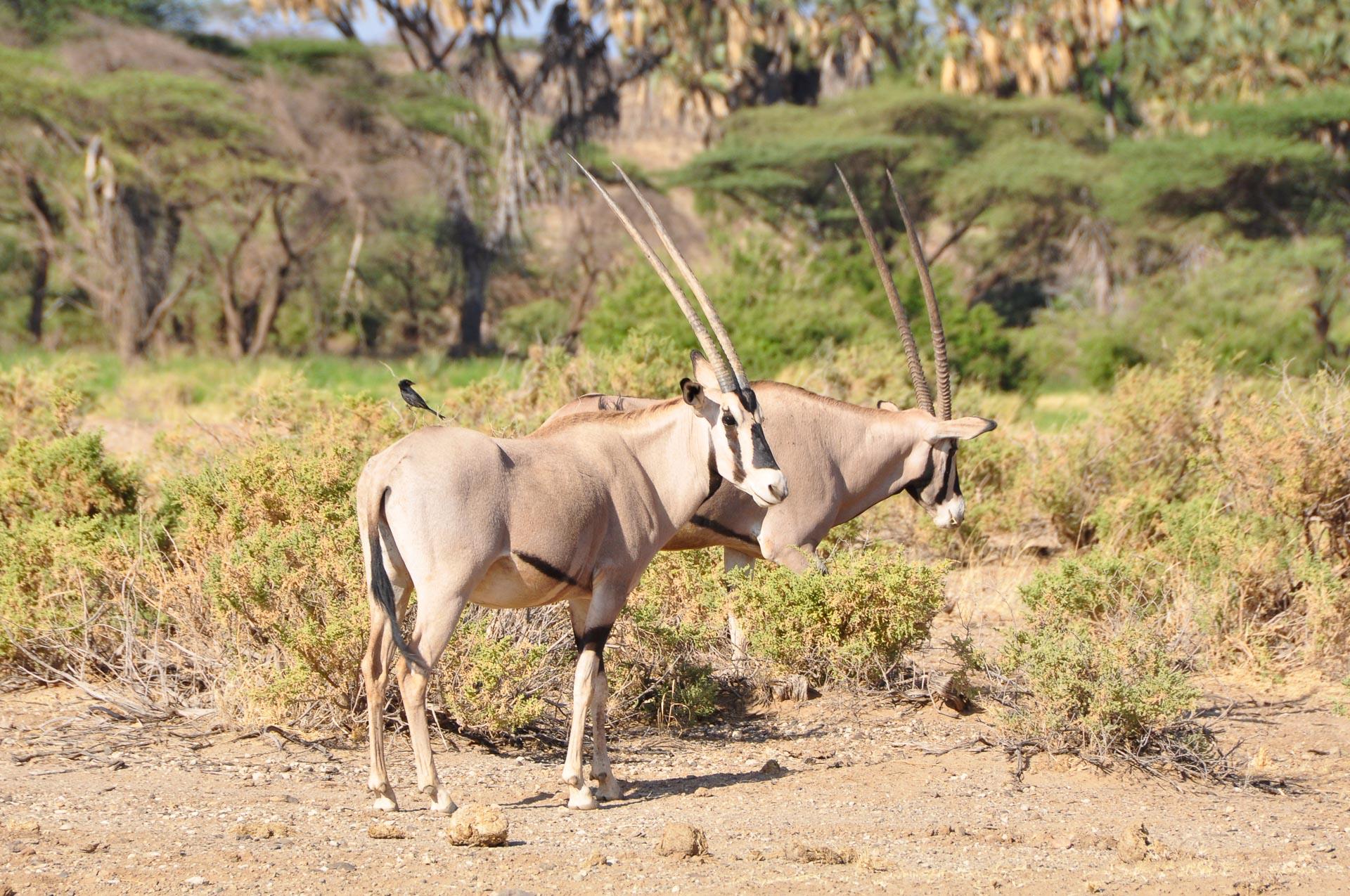 Samburu-Nationalpark-Kenia-Globetrotter-Select-13