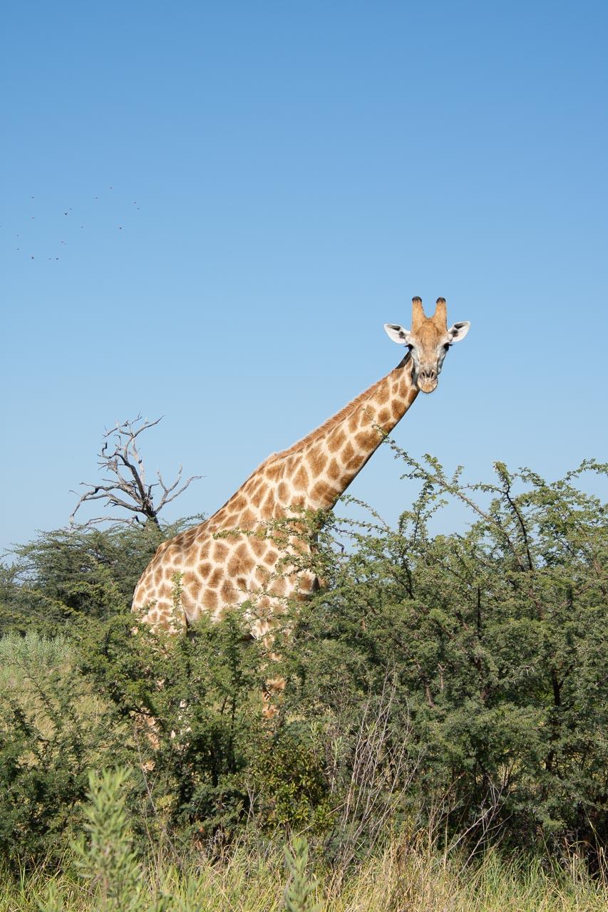 Chobe Nationalpark in Botswana