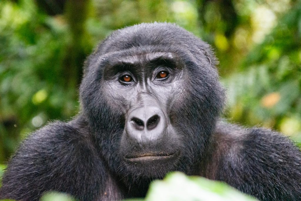 Gorilla Safari im Bwindi Nationalpark in Uganda