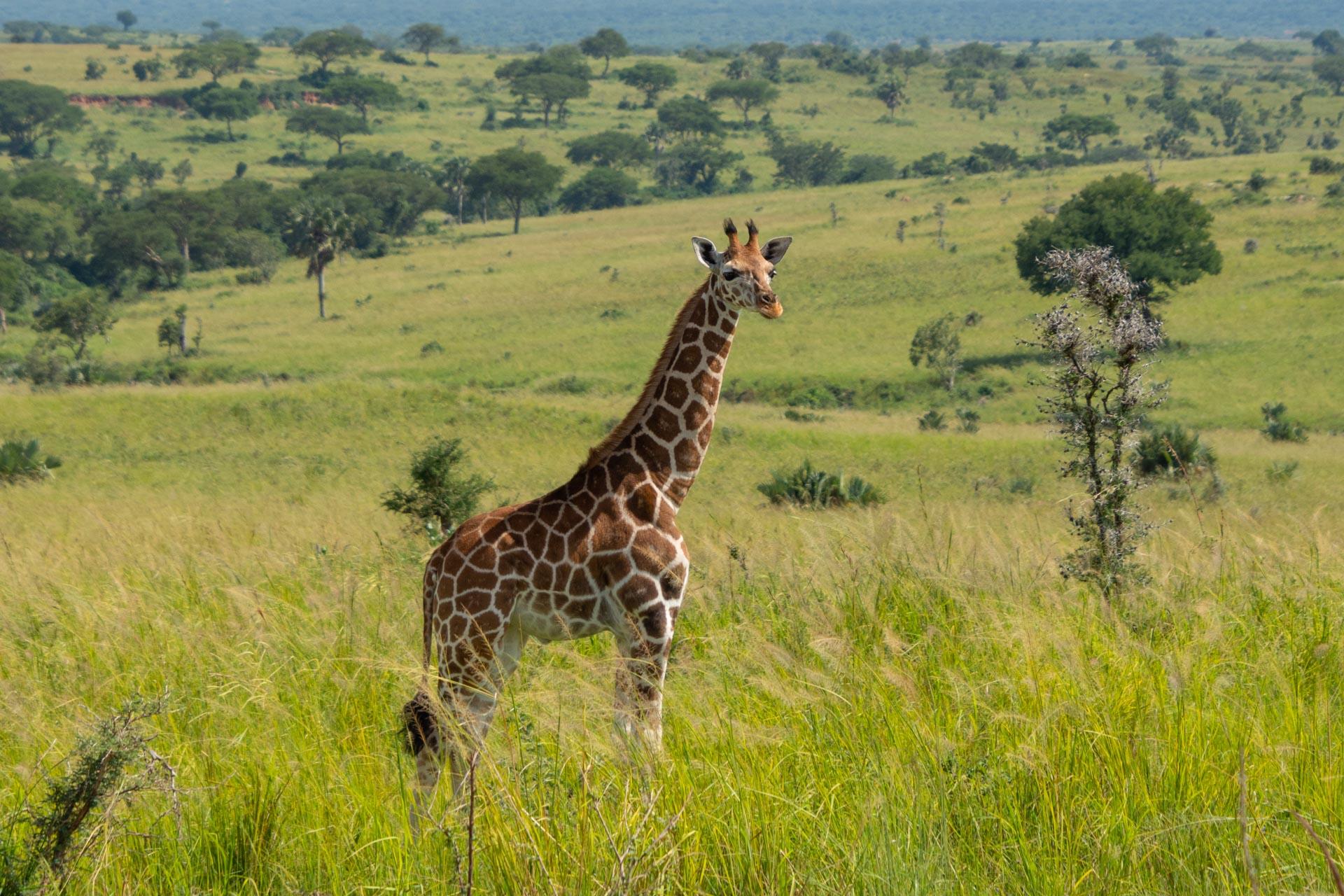 Murchison Falls Nationalpark in Uganda