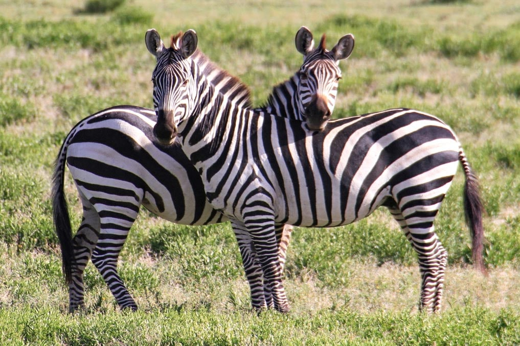 Ngorongoro Conservation in Tansania am Rande der Serengeti