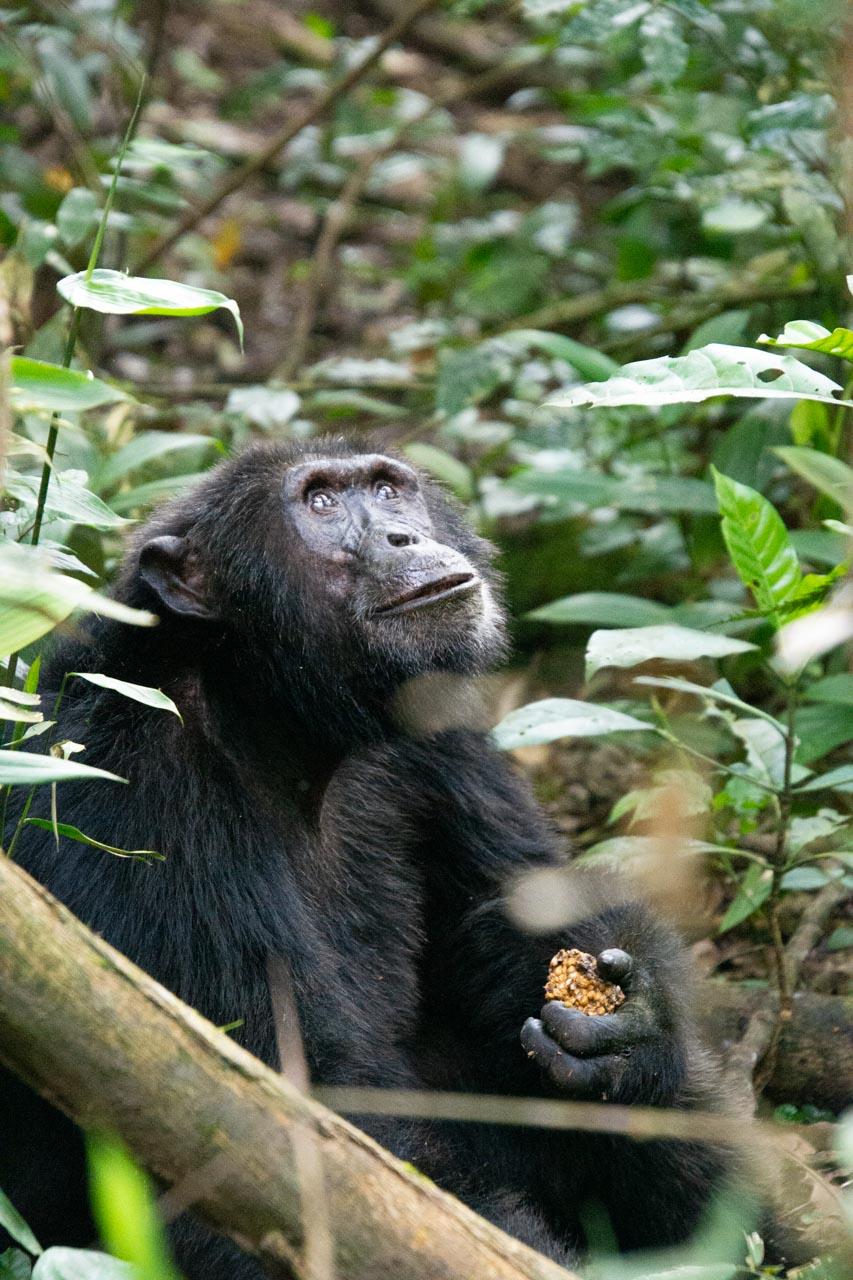 Schimpansen Safari Kibale Nationalpark in Uganda