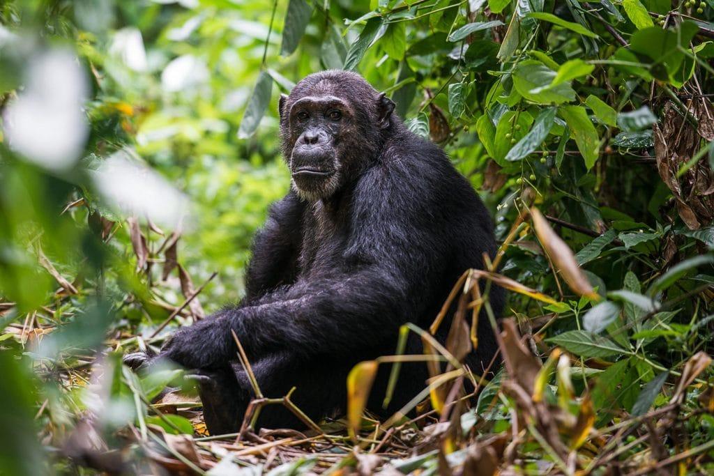 Schimpansen Safari im Mahale Nationalpark in Tansania