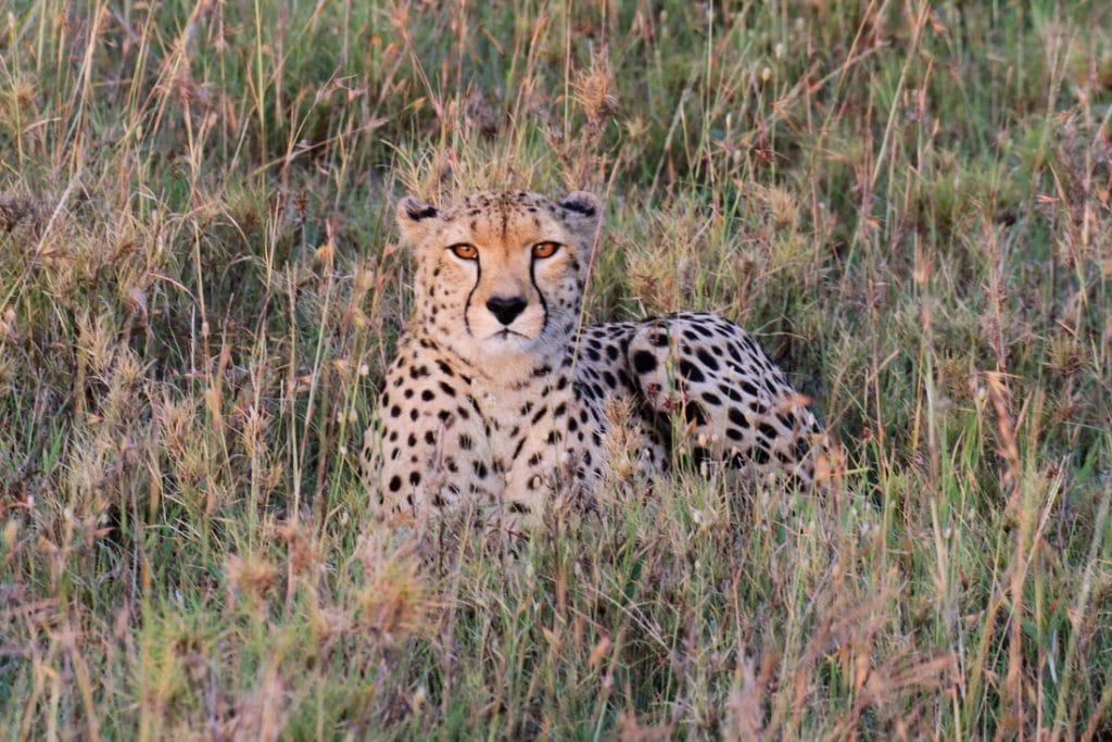 Safari in der Serengeti Savanne in Tansania